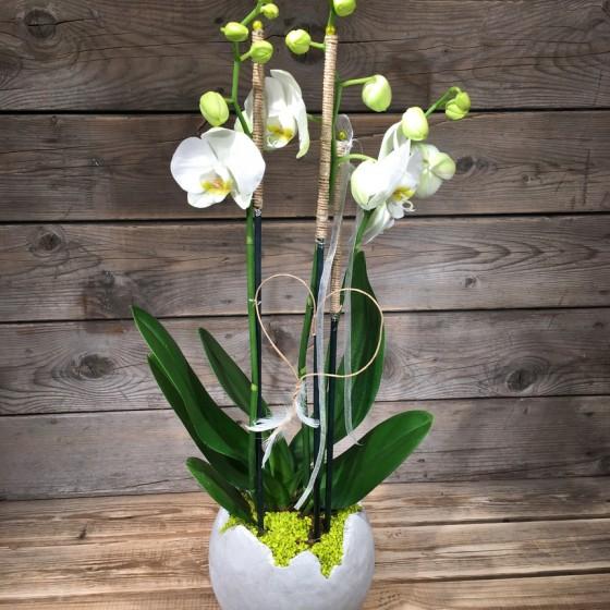 Une belle orchidée Phalaenopsis blanche à deux branches, Des Lys & Délices, Sion