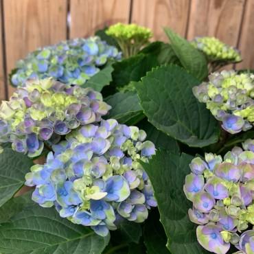 Hortensia bleu dans un beau panier, Des Lys & Délices, Sion